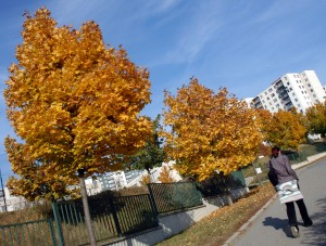 Street Trees Autumn